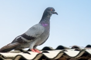 Pigeon Pest, Pest Control in East Finchley, N2. Call Now 020 8166 9746